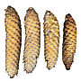 Picea abies four cones.jpg