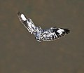 Pied Kingfisher (Ceryle rudis) hovering near Kawal WS, AP W IMG 2259.jpg