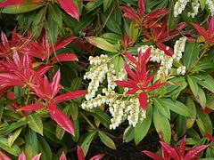 Pieris formosa 'Wakehurst'