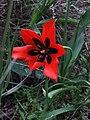 PikiWiki Israel 13378 Tulip.JPG