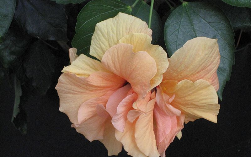 פיקוס - פרח