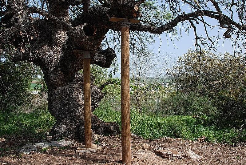 עץ האלון בכדורי