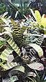 Pikkelyvirág (Vriesea splendens).jpg