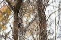 Pileated woodpecker (32278007988).jpg