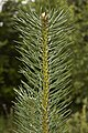 Pine branch.jpg