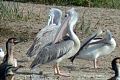 Pink-backed Pelican, Queen Elizabeth NP 1.jpg