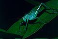 Pink-eyed Katydid (Tettigoniidae) (10745423024).jpg