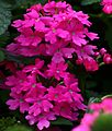 Pink-flowers - Virginia - ForestWander.jpg