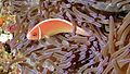 Pink Anemonefish (Amphiprion perideraion) (8477747943).jpg
