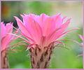 Pink Echinopsis Flower.JPG
