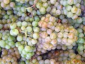 Pino Blanc grapes
