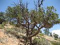 Pinus edulis Bryce Canyon.jpg
