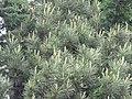 Pinus gerardiana India1.jpg