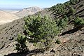 Pinus halepensis kz08 (Morocco).jpg