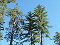 Pinus lambertiana (Sugar Pines).JPG