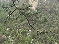 Pinus leiophylla chihuahuana Wetfoliage.jpg