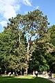 Pinus nigra JPG4Aa.jpg