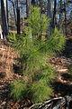 Pinus taeda young loblolly pine.jpg