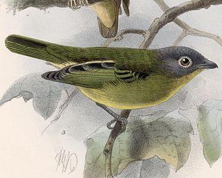 Grey-headed piprites species of bird