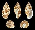 Pisania tritonoides 01.JPG
