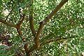 Pistacia lentiscus in Jardin des Plantes de Toulouse 02.jpg