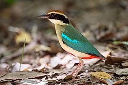 Pitta nympha by Jason Thompson.jpg
