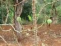Plante Bana Cameroun.jpg
