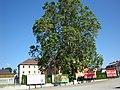 Platane 1216 in Voitsberg.jpg