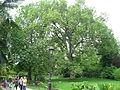 Platanus × acerifolia 03 by Line1.JPG