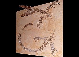 Platecarpus - Skeleton in Naturhistorisches Museum Wien