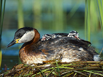 Red-necked grebe - Chicks on a parent's back