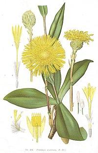 Podolepis acuminata.jpg