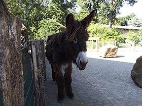Poitou donkey Vechtehof.jpg