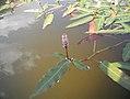Poligonum al lago di Calaita.jpg