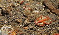 Polyclad Flatworm (Phrikoceros katoi) - Jahir, Lembeh Strait, Sulawesi, Indonesia (2).jpg