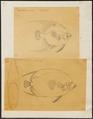 Pomacanthus paru - 1700-1880 - Print - Iconographia Zoologica - Special Collections University of Amsterdam - UBA01 IZ13100257.tif