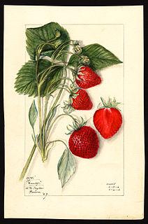 US botanical artist