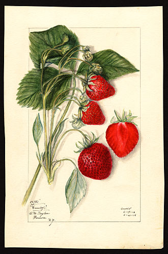 Mary Daisy Arnold - Dunlap variety of strawberries (Fragaria species), with specimen originating in Geneva, New York; watercolor by Mary Daisy Arnold, 1912.