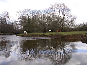 Lymington River - New Forest ponies grazing next to the Lymington River near Brockenhurst