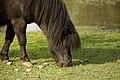 Pony (Equus ferus caballus Linnaeus).jpg