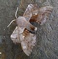 Poplar Hawkmoth. Laothoe populi - Flickr - gailhampshire (4).jpg