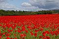 Poppies again 6 (5781495065).jpg