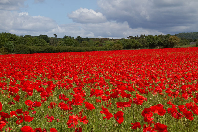 File:Poppies again 6 (5781495065).jpg