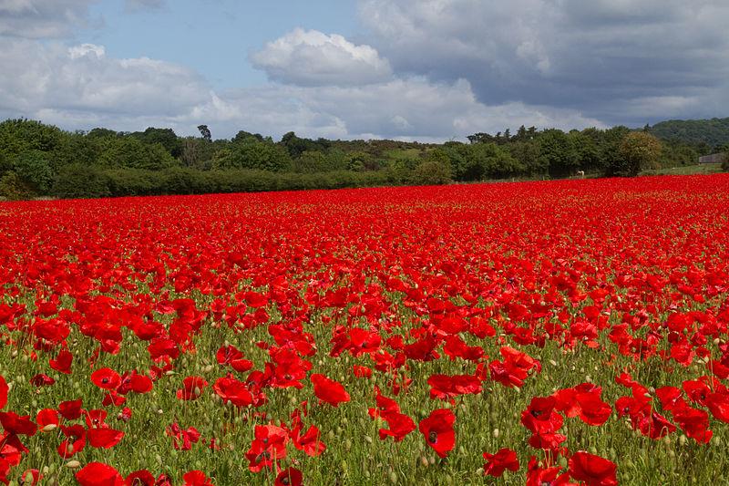 File:Poppies again 6 (5781495065).jpg
