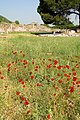 Poppy Field en route to Church of Mary - Efes (Ephesus) - Turkey (5754400445).jpg
