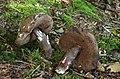 Porphyrellus-porphyrosporus-Düstere-Röhrling.jpg