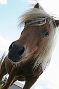 Portrait of a young horse, Canada.jpg
