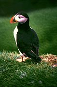 Portrait of fratercula arctica in the faroe islands.jpg