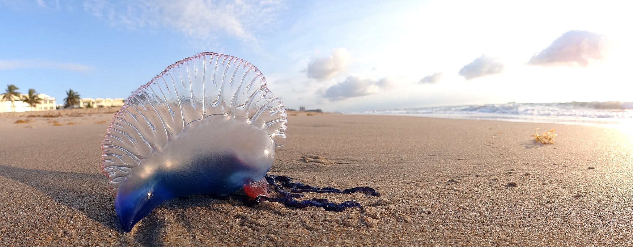 Qual – Qualle – Portuguese Man o' War at Palm Beach FL by Volkan Yuksel DSC05878