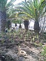 Potential natural vegetation tree planting in Mera park, Kiitanabe.jpg